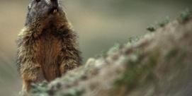"""Randonnée accompagnée """"Rencontre avec les marmottes"""""""