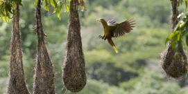 Les Oiseaux de Guyane - Tanguy Deville