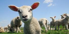 Meet the shepherds and their flocks