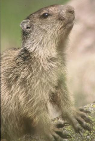 3-marmotte.JPG