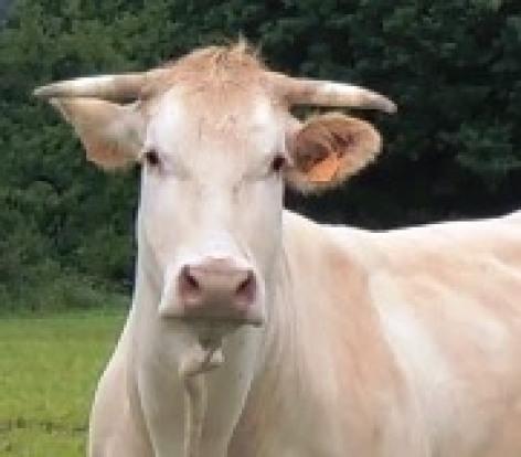0-Vache-Pome.jpg