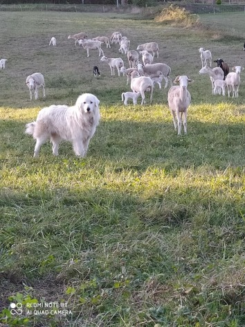 2-Elevage-Moutons-a-Auriebat---Ferme-du-Tucoulet.jpg