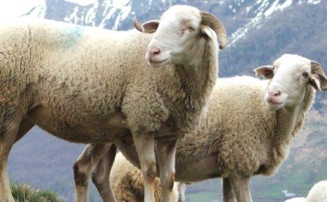 0-mouton-aop-1.jpg