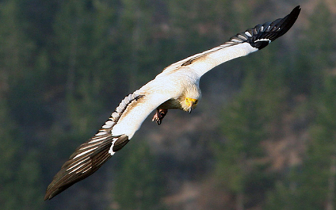 0-2017-vautour-pibeste-argeles-gazost.jpg