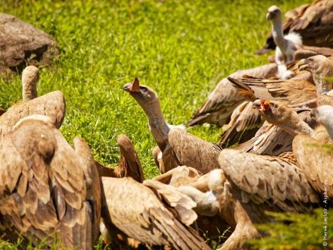 1-vautours-parcanimalierdespyrenees.jpg