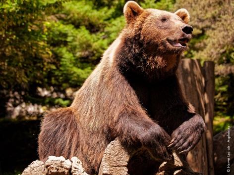 5-ours-parcanimalierdespyrenees.jpg