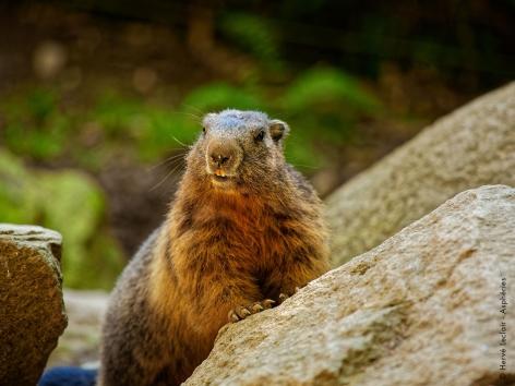 7-marmotte-parcanimalierdespyrenees.jpg
