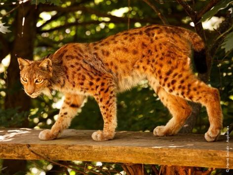 8-lynx-parcanimalierdespyrenees.jpg