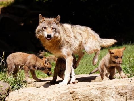 9-loups-parcanimalierdespyrenees.jpg