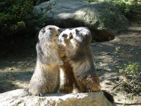 2-37-Parc-animalier-des-Pyrenees---Marmottes.jpg