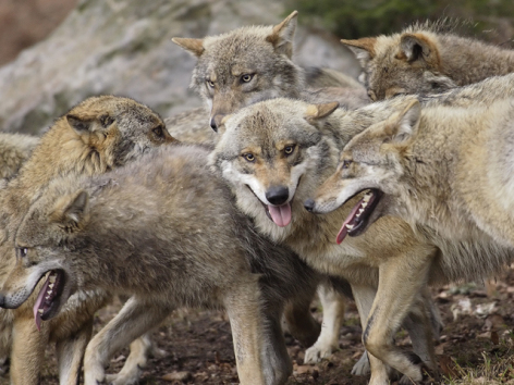 2-38-Parc-animalier-des-Pyrenees---Loups.jpg