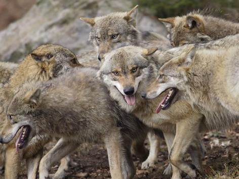 5-38-Parc-animalier-des-Pyrenees---Loups.jpg