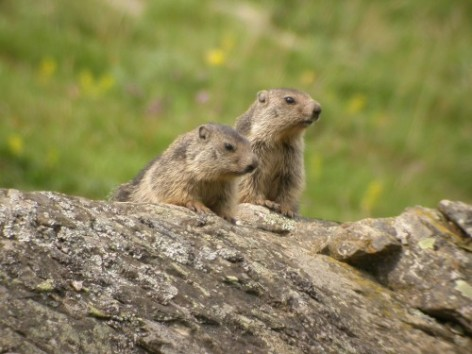 3-MARMOTTES-HPTE-NATURA.jpg