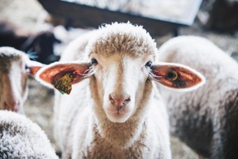 0-Mouton-Vie-d-estive-HPTE-Liautaud.jpg